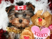 free Tea-Cup Yorkies Available For Adoption