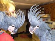 Black Palm Cockatoos pair for sale