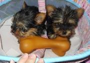 Yorkie puppy for free adoption